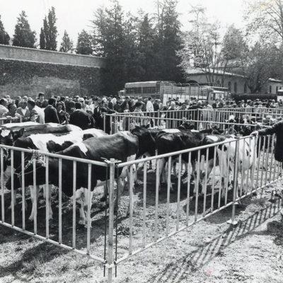 Mostra de bestiar boví a la zona del Puig del Roser. ACGAX. Servei d'Imatges. Fons L'Olotí. Autor desconegut, 1983.